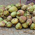 Bombay - Noix de coco